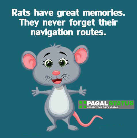 Rats have great memories, They never forget their navigation routes,  Interesting Whatsapp Status