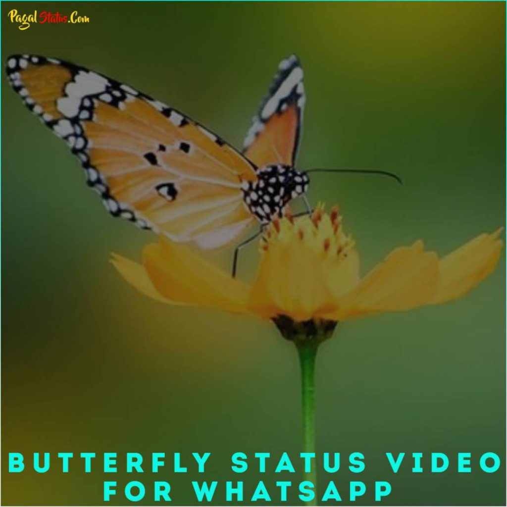 Butterfly Status Video for Whatsapp